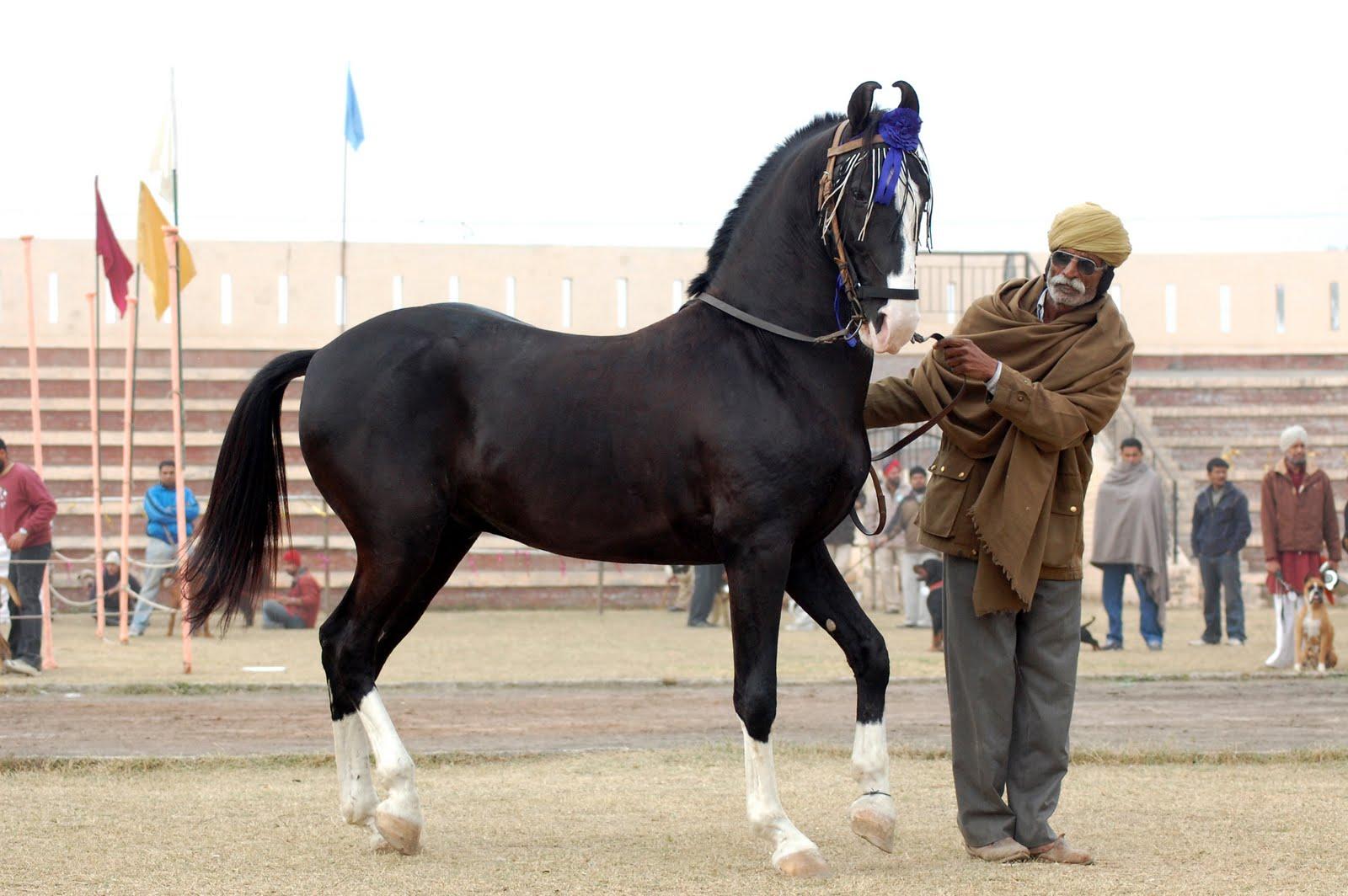 بالصور اجمل حصان في العالم , احلي خيول 2391 12