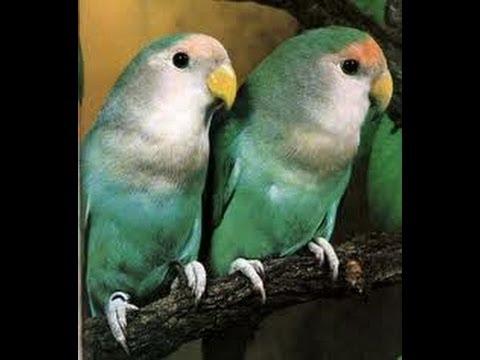بالصور عصافير الزينة , اجمل اشكال لعصافير الزينه 2769 1