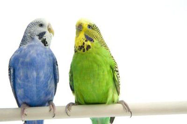 بالصور عصافير الزينة , اجمل اشكال لعصافير الزينه 2769 12
