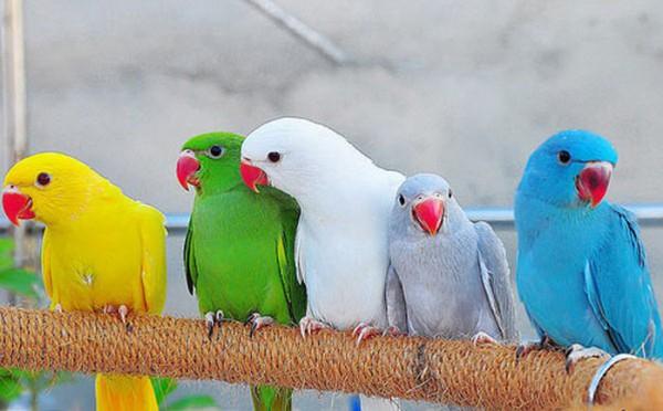 بالصور عصافير الزينة , اجمل اشكال لعصافير الزينه 2769 13