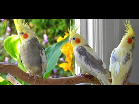 بالصور عصافير الزينة , اجمل اشكال لعصافير الزينه 2769 3