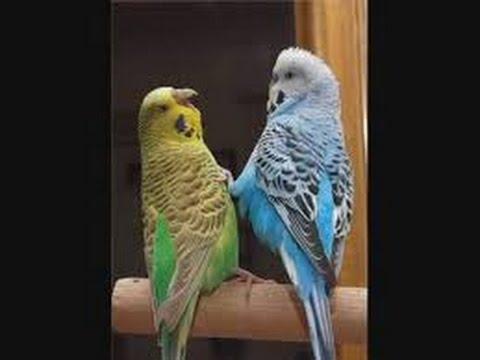 بالصور عصافير الزينة , اجمل اشكال لعصافير الزينه 2769 9