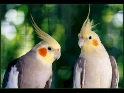 بالصور عصافير الزينة , اجمل اشكال لعصافير الزينه 2769