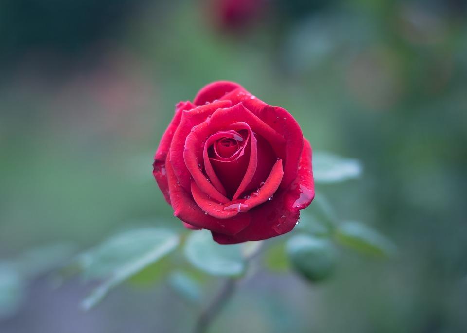 بالصور صور ورود جميلة , صور زهور جميله 3379 8