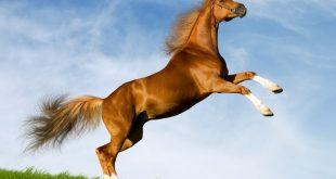 بالصور صور حصان , صور خيل حلوه 1178 12 310x165
