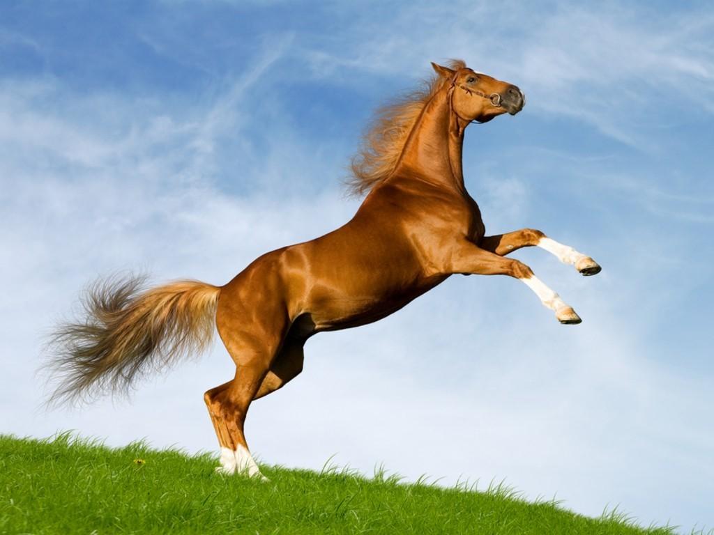 صوره صور حصان , صور خيل حلوه