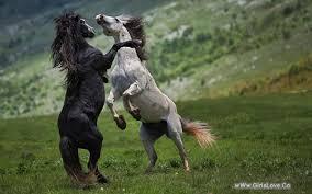 بالصور صور خيول , اجمل واروع خيول العالم 1255 10