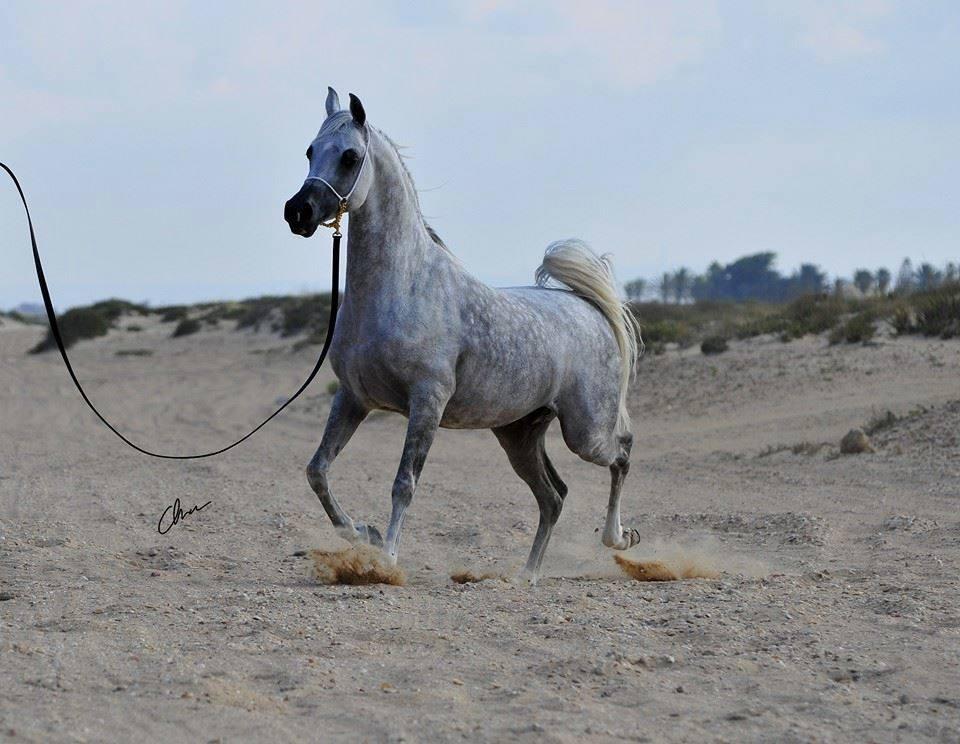 بالصور صور خيول , اجمل واروع خيول العالم 1255 2