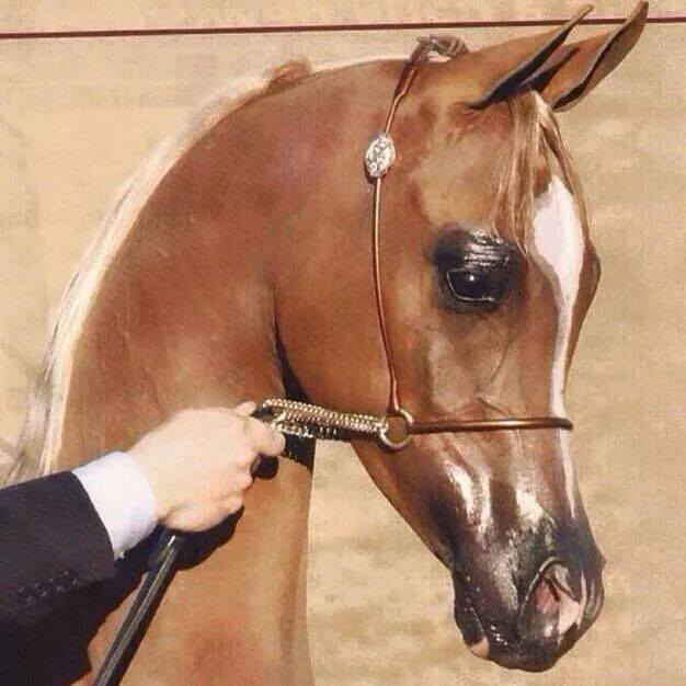 بالصور صور خيول , اجمل واروع خيول العالم 1255 3