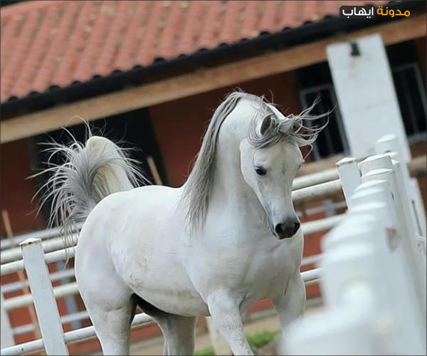 بالصور صور خيول , اجمل واروع خيول العالم 1255 9