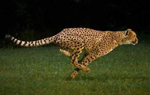 صورة اسرع حيوان في العالم , ماهو اسرع حيوان في العالم 3024 2
