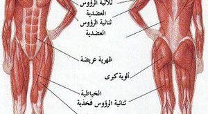 صور كم عدد عضلات جسم الانسان , العضلات الموجوده فى الجسم