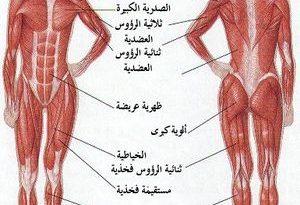 صورة كم عدد عضلات جسم الانسان , العضلات الموجوده فى الجسم