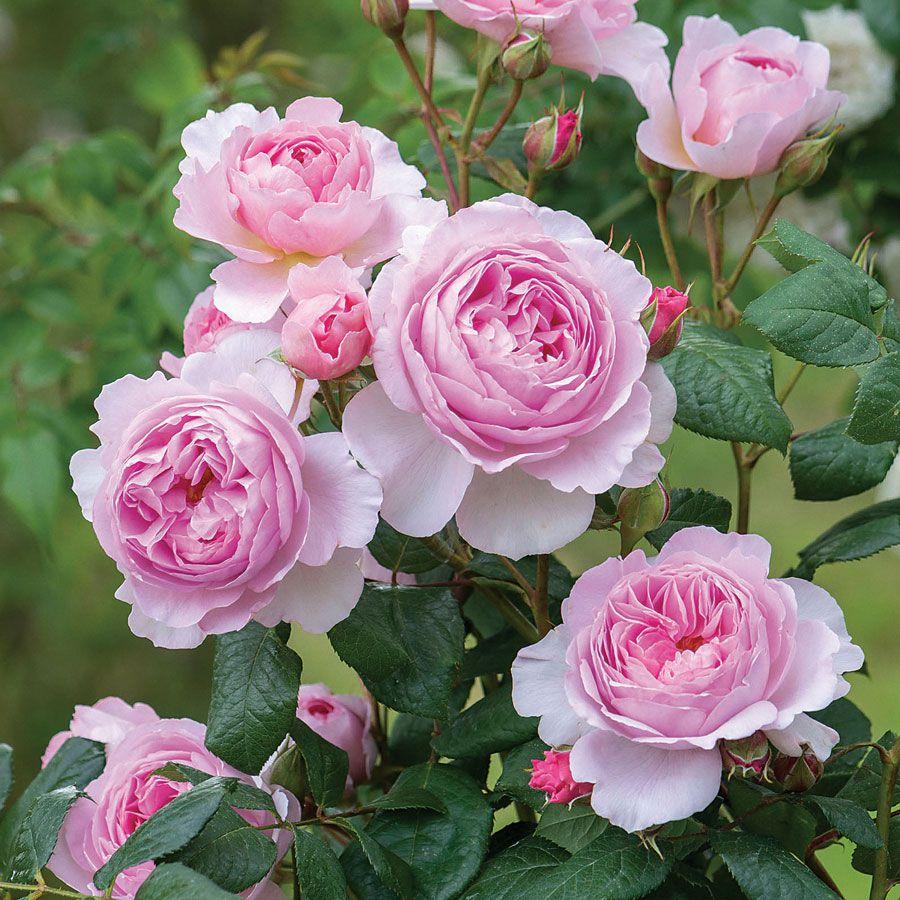 بالصور صور ورد طبيعي , اجمل الورود الطبيعيه باشكالها المختلفه 1054 1