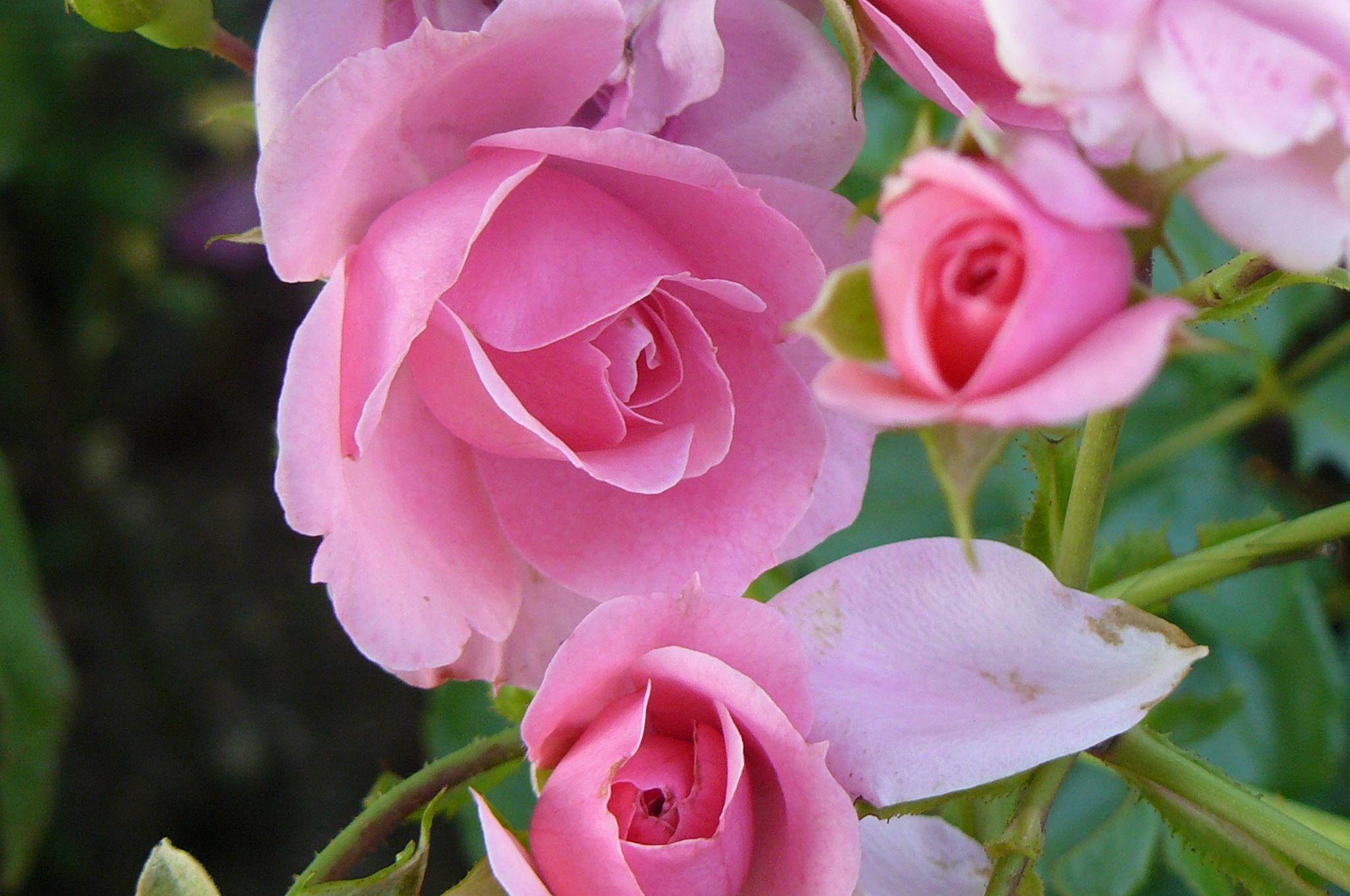 بالصور صور ورد طبيعي , اجمل الورود الطبيعيه باشكالها المختلفه 1054 11