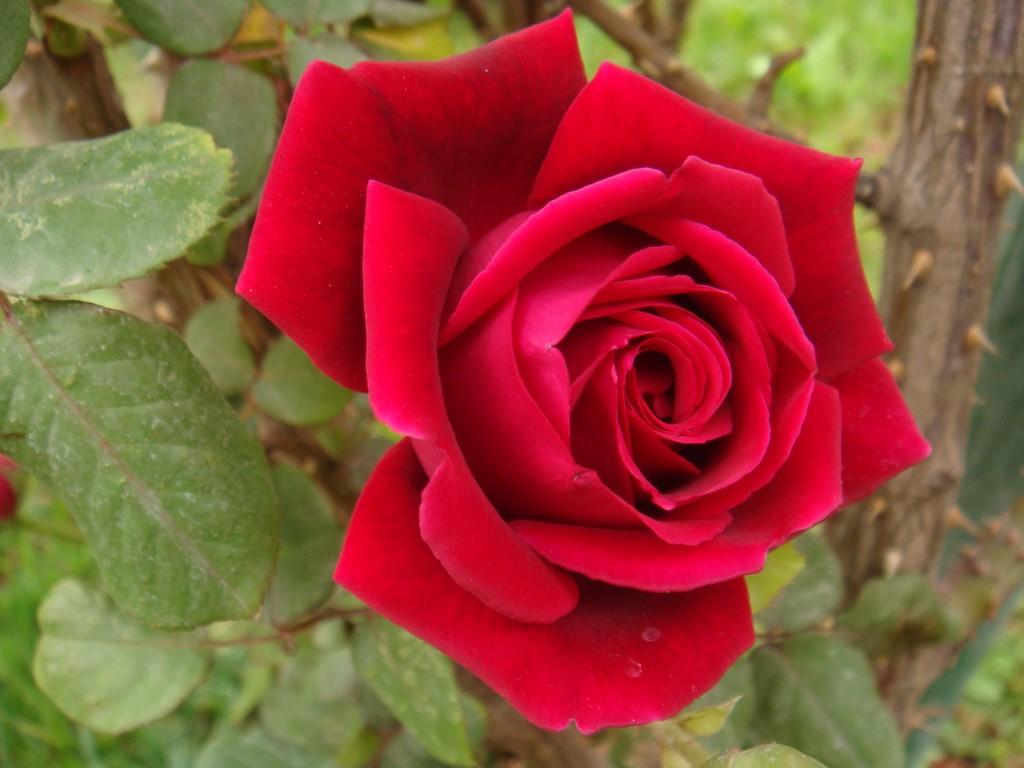 بالصور صور ورد طبيعي , اجمل الورود الطبيعيه باشكالها المختلفه 1054