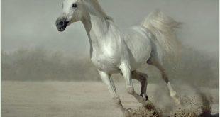 صوره صور خيل , عربي اصيل في قمة الروعة والجمال