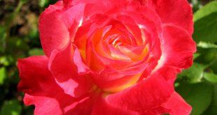 صوره اجمل وردة في العالم , طريقة صنع اجمل واروع وردة في العالم