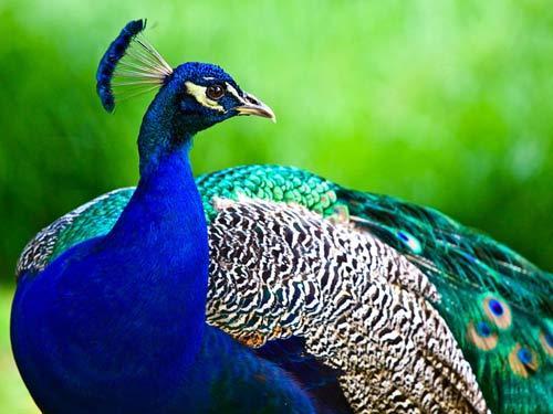 بالصور اجمل الطيور في العالم , احلي واروع اشكال الطيور المميزة في العالم 2162 10