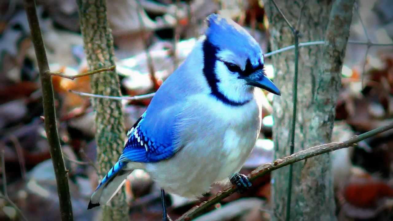 بالصور اجمل الطيور في العالم , احلي واروع اشكال الطيور المميزة في العالم 2162 7