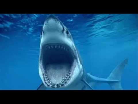 بالصور صور سمك القرش , من اخطر الحيوانات البحريةخطورة سمكة القرش 4176 13