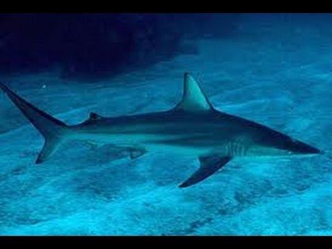 بالصور صور سمك القرش , من اخطر الحيوانات البحريةخطورة سمكة القرش 4176 2