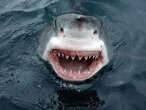 بالصور صور سمك القرش , من اخطر الحيوانات البحريةخطورة سمكة القرش 4176 3