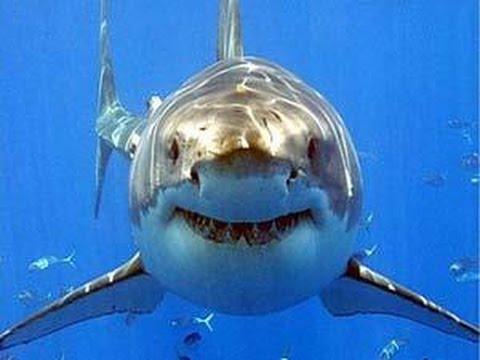 بالصور صور سمك القرش , من اخطر الحيوانات البحريةخطورة سمكة القرش 4176
