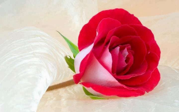 بالصور اجمل ورود الحب , اروع دليل لاثبات حبك للحبيب 6418 6