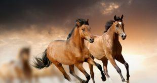 بالصور خيل عربي اصيل , اشهر وافضل الخيول فى العالم 6553 12 310x165