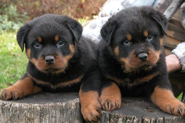 بالصور انواع الكلاب , اشهر انواع الكلاب 699 10