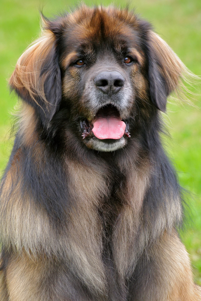 بالصور انواع الكلاب , اشهر انواع الكلاب 699 9