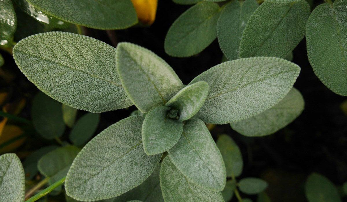 صور عشبة الميرمية , استخدامات و فوائد عشبة الميرميه