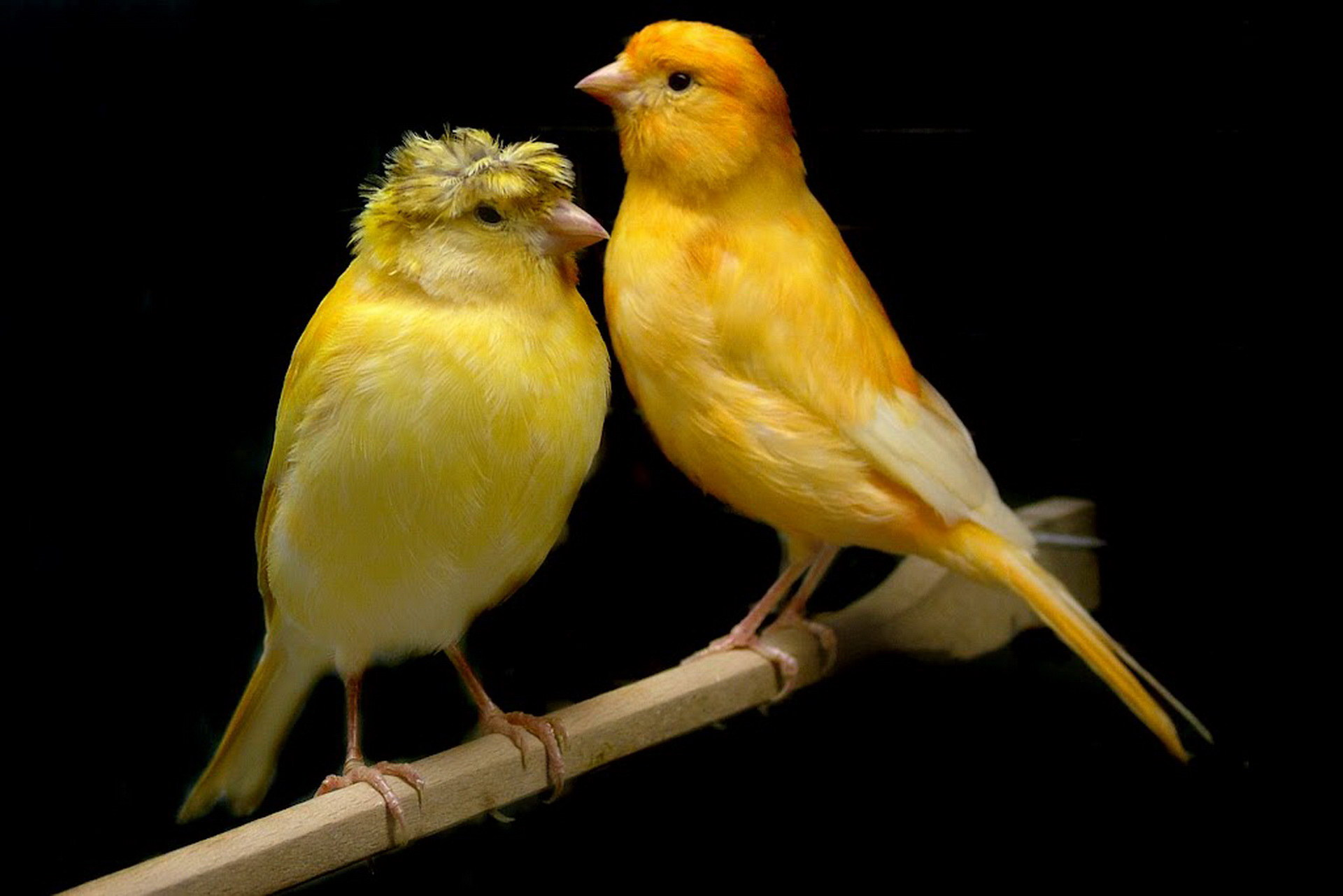 صوره انواع الكناري , طائر الكناري بانواعه المختلفه