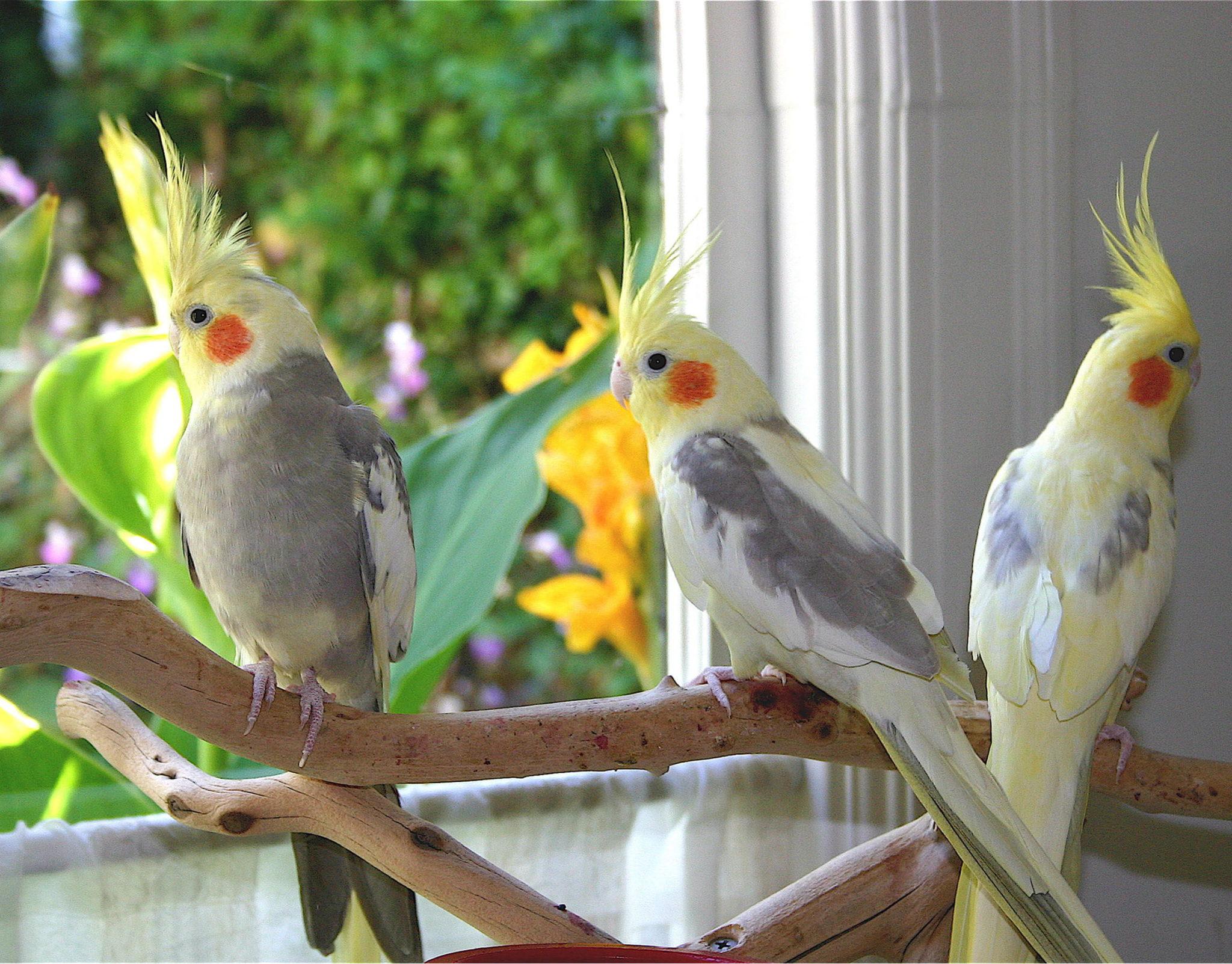 بالصور انواع الكناري , طائر الكناري بانواعه المختلفه 838 10