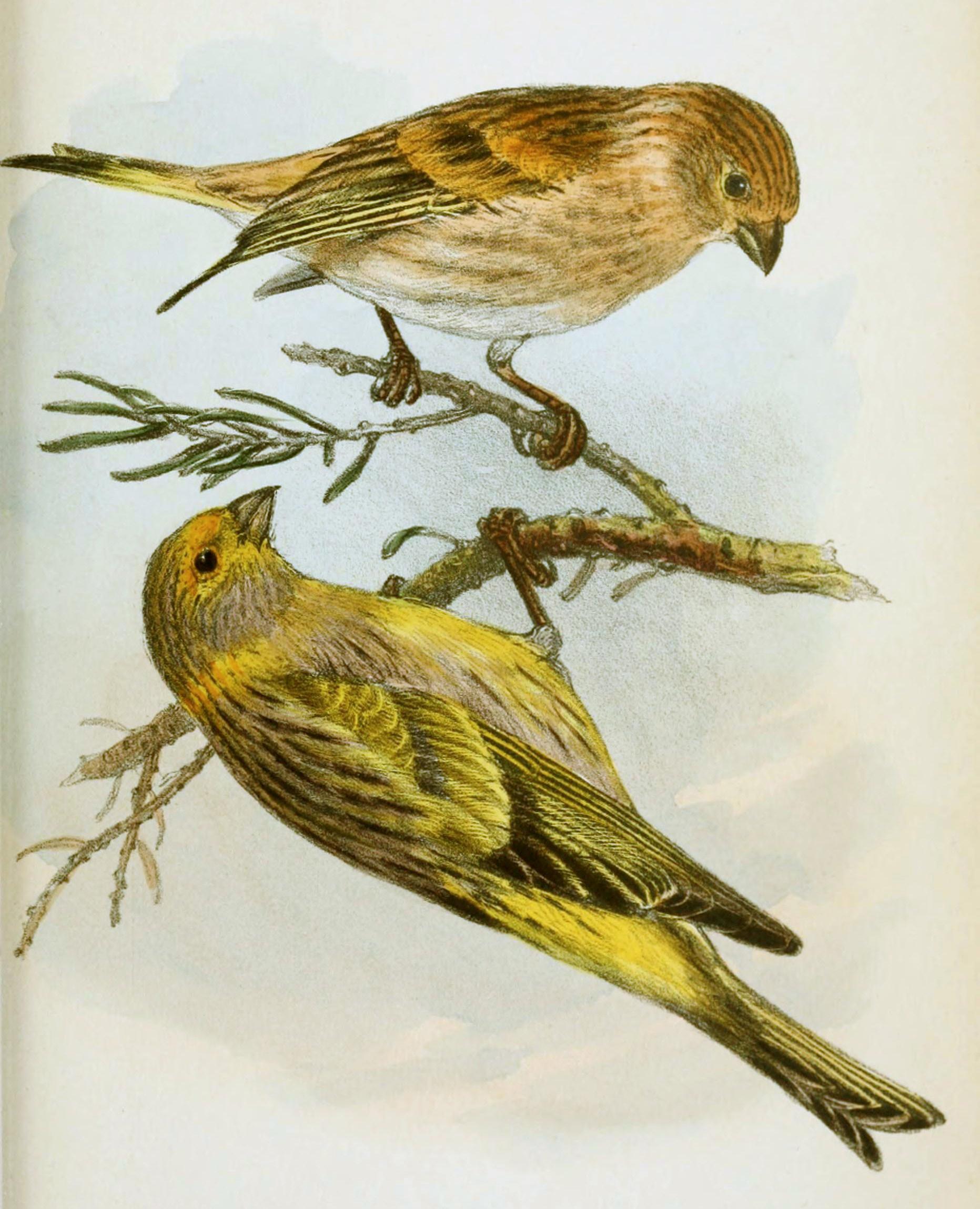 بالصور انواع الكناري , طائر الكناري بانواعه المختلفه 838 11