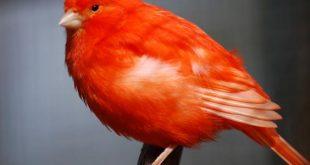 صورة انواع الكناري , طائر الكناري بانواعه المختلفه