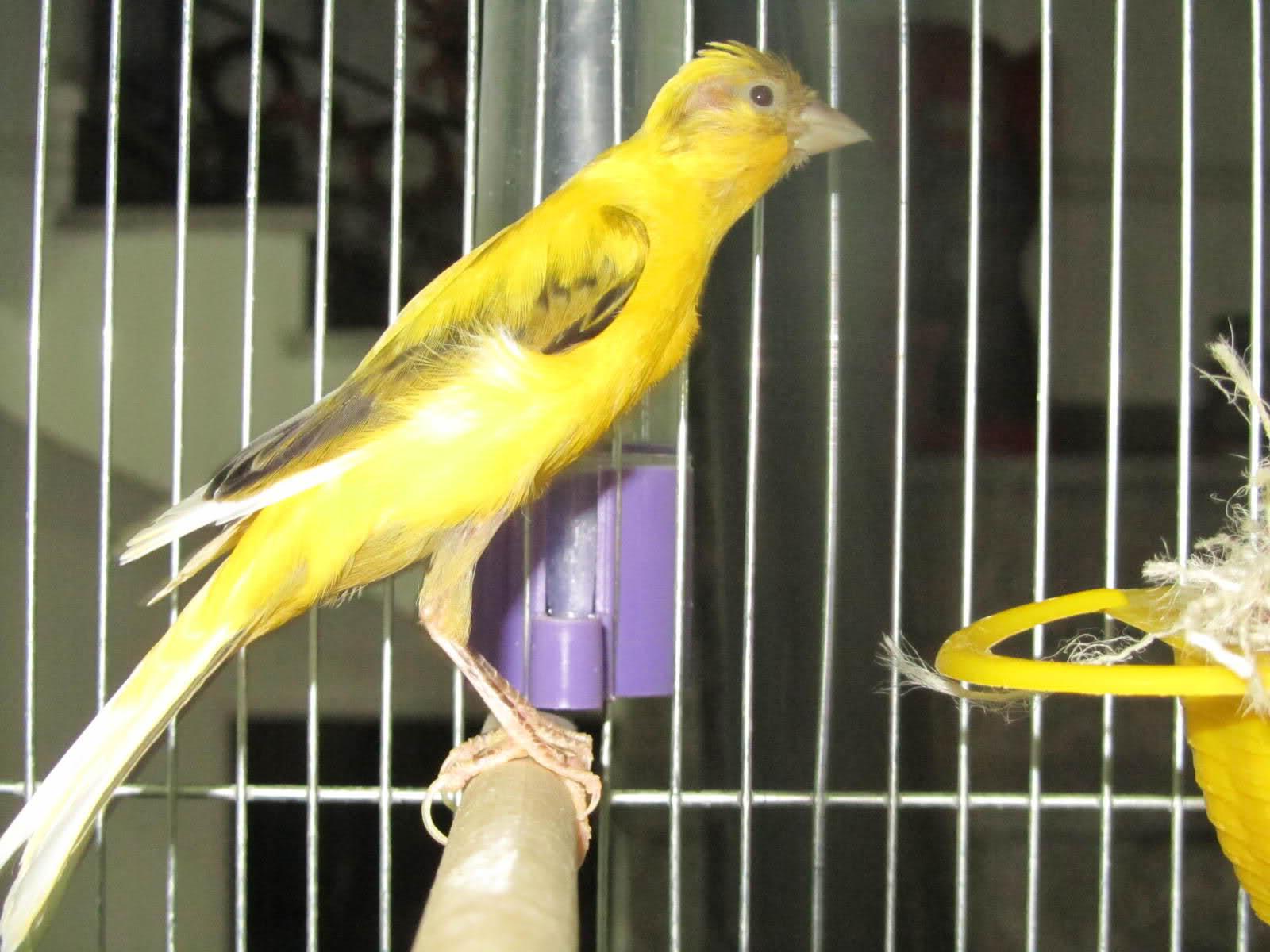 بالصور انواع الكناري , طائر الكناري بانواعه المختلفه 838 3