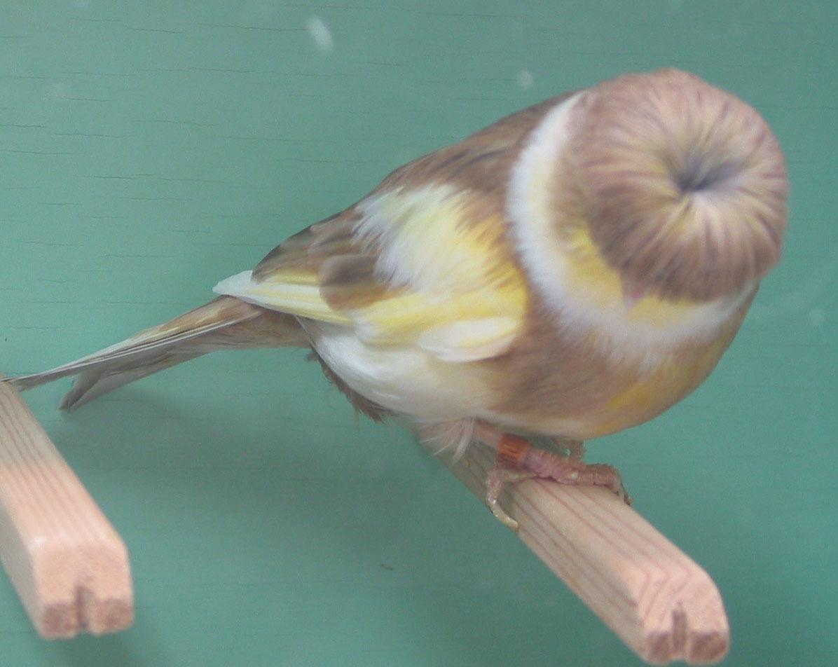 بالصور انواع الكناري , طائر الكناري بانواعه المختلفه 838 4