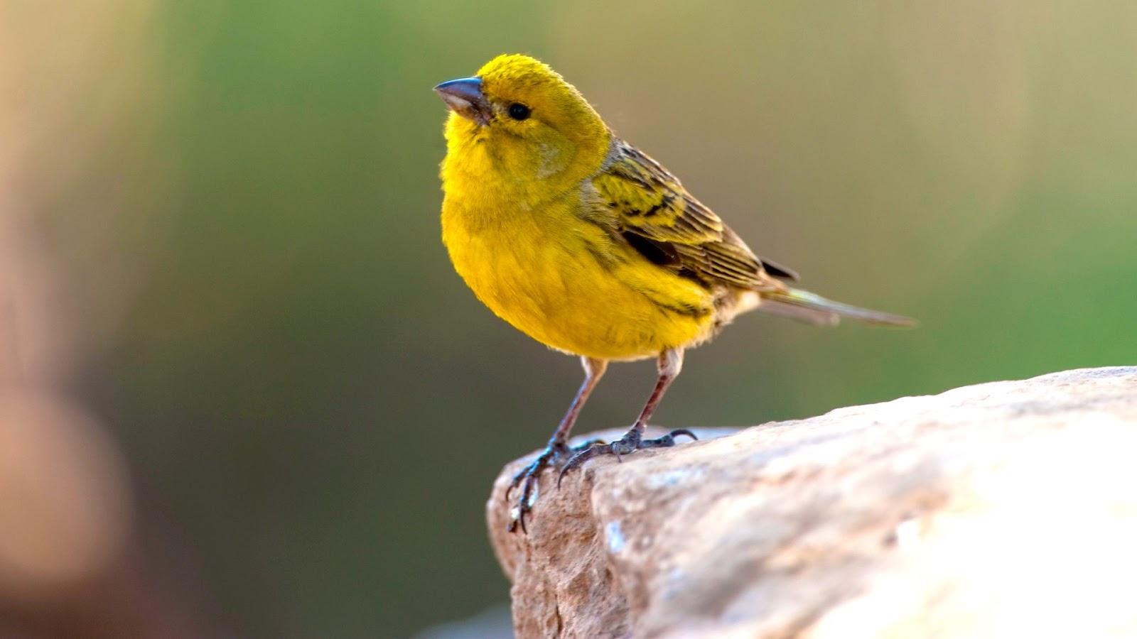بالصور انواع الكناري , طائر الكناري بانواعه المختلفه 838 5