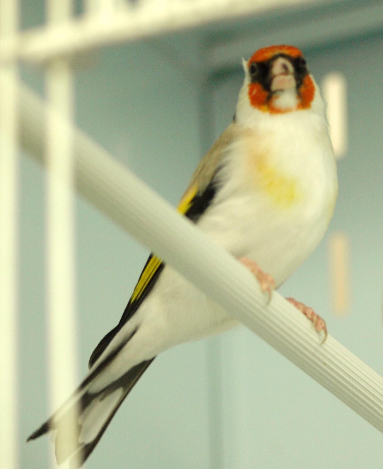 بالصور انواع الكناري , طائر الكناري بانواعه المختلفه 838 6