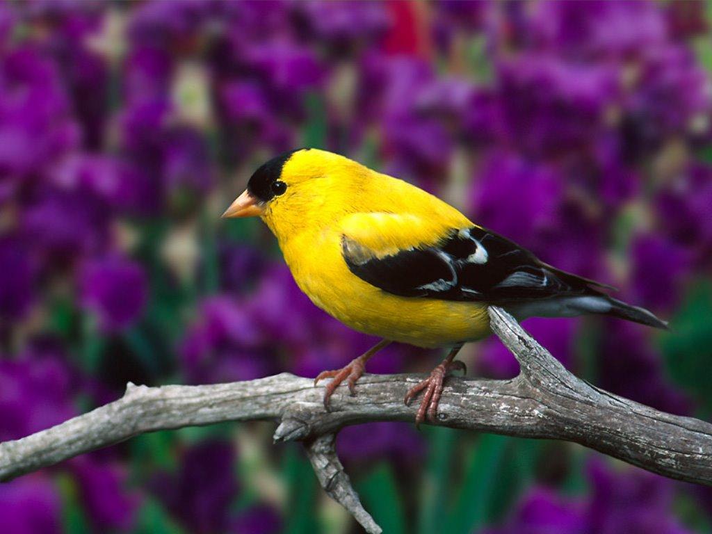 بالصور انواع الكناري , طائر الكناري بانواعه المختلفه 838 7