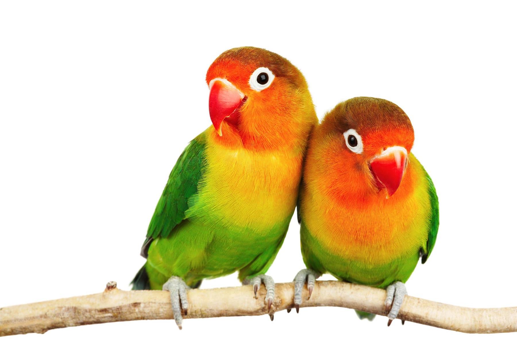 بالصور انواع الكناري , طائر الكناري بانواعه المختلفه 838 8