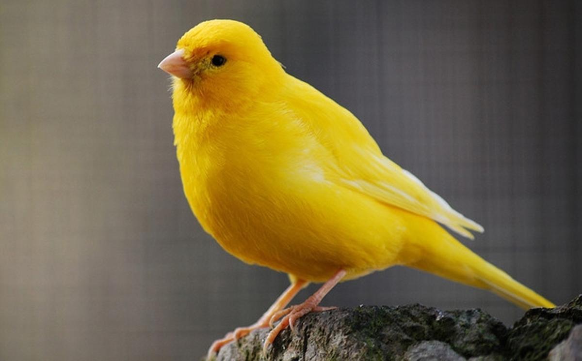 بالصور انواع الكناري , طائر الكناري بانواعه المختلفه 838 9