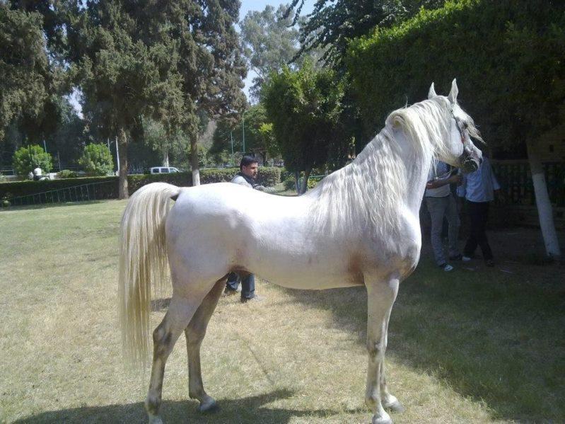 بالصور حصان عربي , شاهد جمال الحصان الاصيل 6499 1