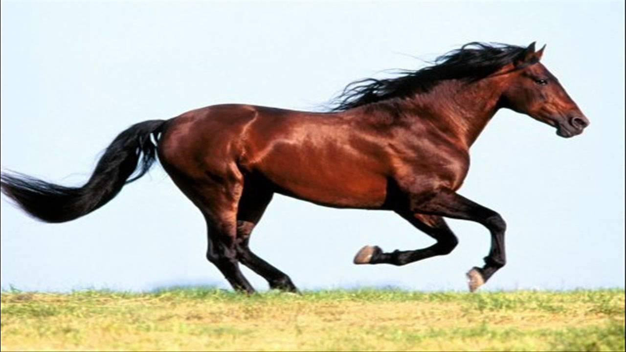 بالصور حصان عربي , شاهد جمال الحصان الاصيل 6499 2
