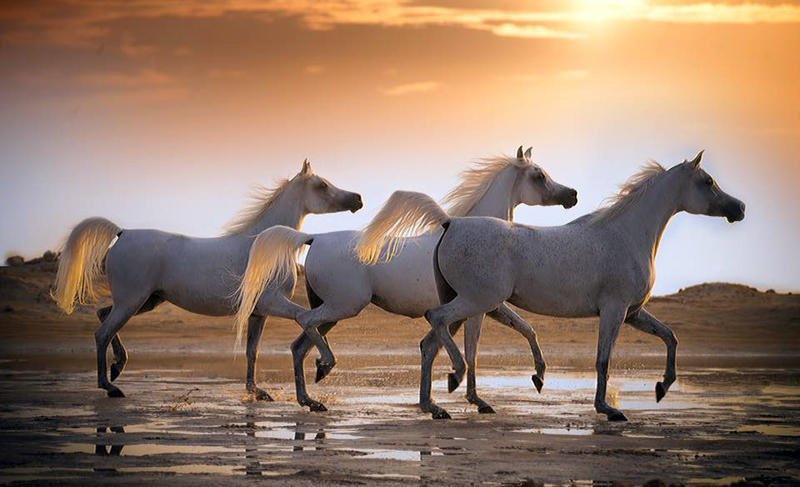 بالصور حصان عربي , شاهد جمال الحصان الاصيل 6499 7