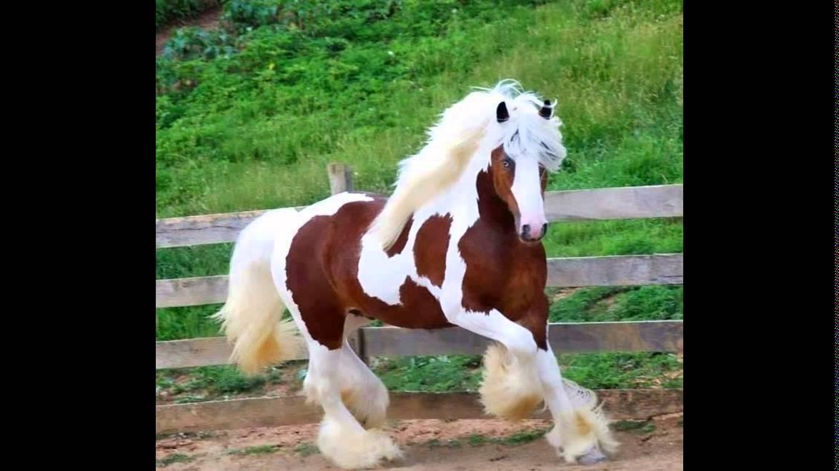 بالصور حصان عربي , شاهد جمال الحصان الاصيل 6499 8