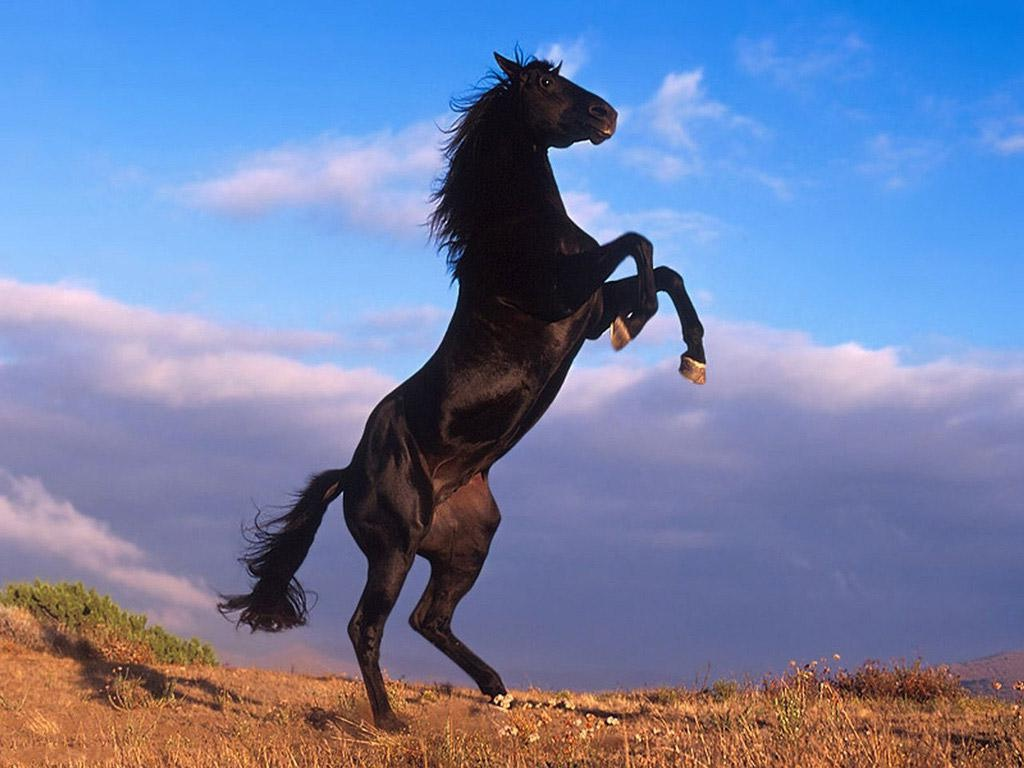بالصور حصان عربي , شاهد جمال الحصان الاصيل