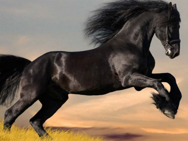بالصور حصان عربي , شاهد جمال الحصان الاصيل 6499